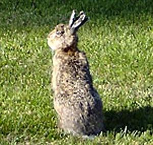 Фото №1 - В Швеции обнаружен заяц с четырьмя ушами
