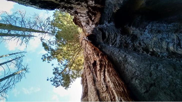Фото №5 - Генералы среди деревьев: 10 удивительных фактов о гигантских секвойях