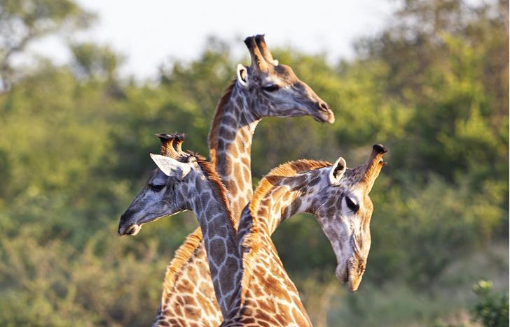Фото №1 - Трехглавый жираф