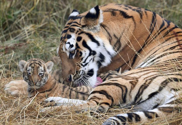 Фото №1 - Ученые предложили новый подход в защите тигров