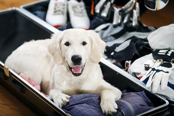 Фото №1 - Американская авиакомпания стала перевозить собак и кошек первым классом