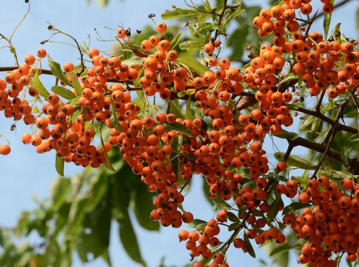 Фото №10 - В своем отечестве: самые полезные осенние ягоды
