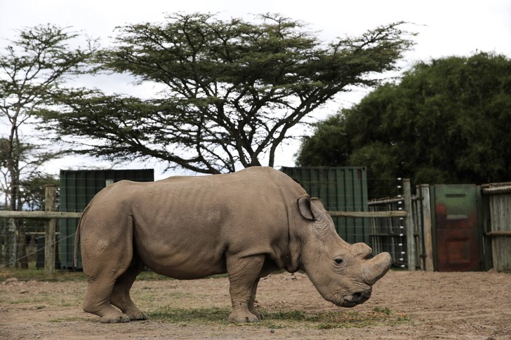Фото №1 - У северного белого носорога появился шанс на спасение