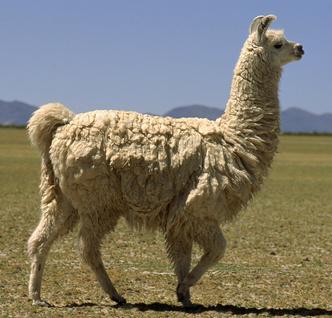 Фото №4 - Национальное достояние: священный верблюд инков