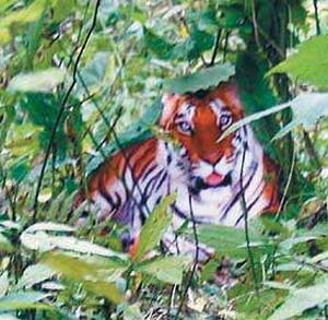 Фото №1 - Тигров становится все меньше
