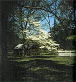 Кизил не случайно возведен в ранг «дерева штата Теннесси»— по весне, усыпанный крупными белыми цветами, он поистине царствует в лесах и парках.