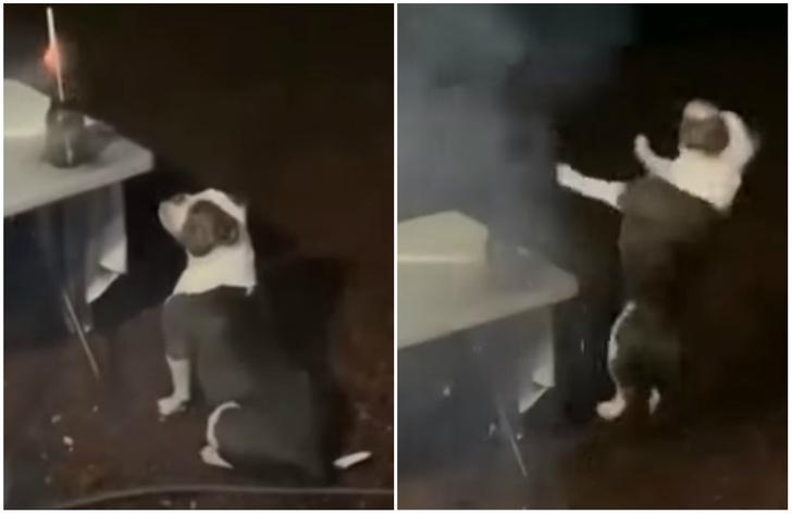 Фото №1 - Смешная и неожиданная реакция бульдога на фейерверк (видео)