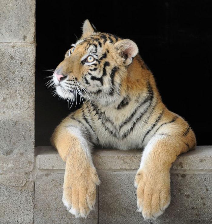 Фото №5 - Тигрица из бродячего цирка волшебно преобразилась после приюта