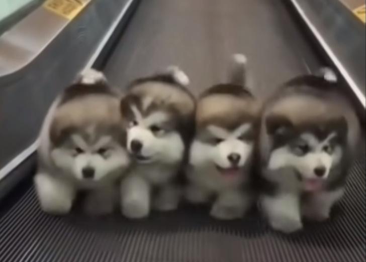 Фото №1 - Четыре щеночка маламута трогательно бегут по движущейся дорожке под диско-хит (видео)
