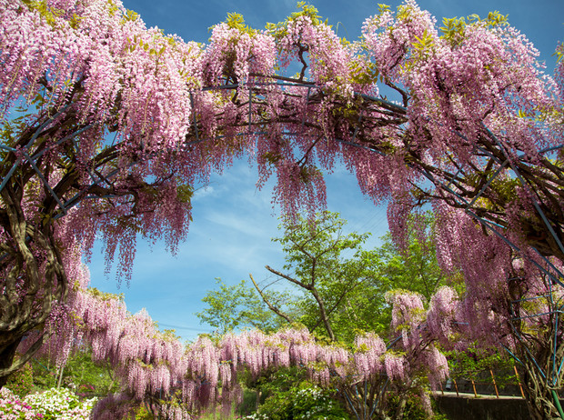Фото №7 - 5 лучших растений для вертикального озеленения садового участка