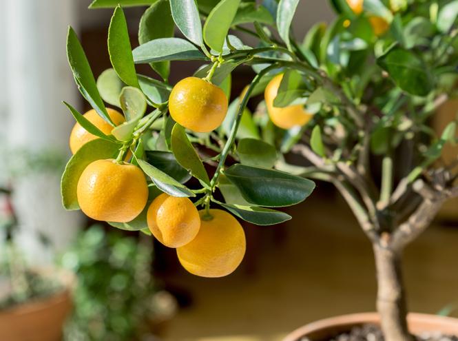 Фото №4 - 5 растений, которые заменят новогоднюю елку