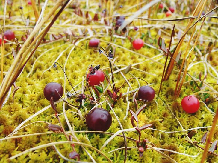 Фото №6 - Лесные и болотные самоцветы: северные ягоды во всей красе