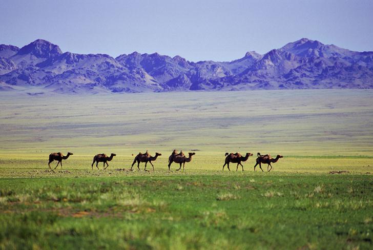 Фото №6 - Сухой закон: как верблюды выживают в экстремальных условиях