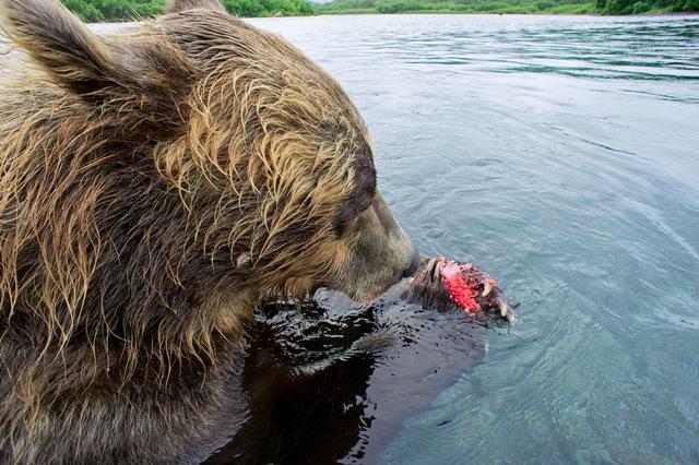 Фото №7 - Медвежья рыбалка. Репортаж cо дна озера
