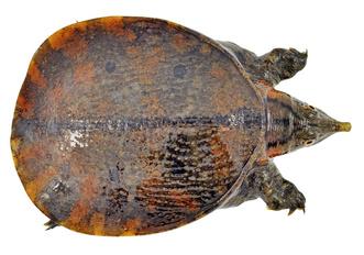 Фото №10 - Тише едешь— дольше будешь: долголетие и другие загадки гигантских черепах