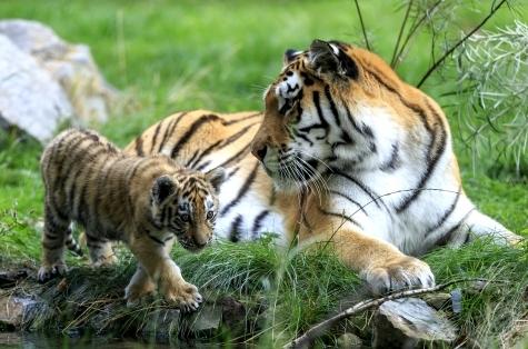 Фото №1 - Новая игрушка от Hasbro «Рычащий амурчик» – на защите амурского тигра!