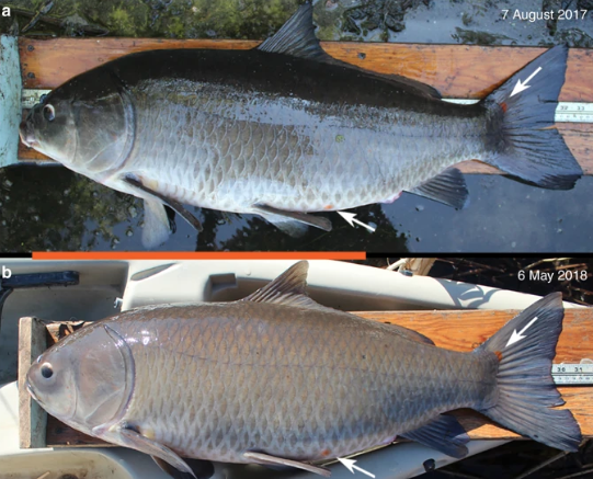 Фото №1 - Ученые обнаружили долгожителя среди пресноводных рыб