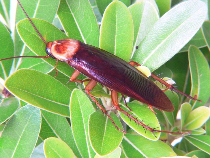 Фото №1 - В Сочи начали распространяться гигантские тараканы
