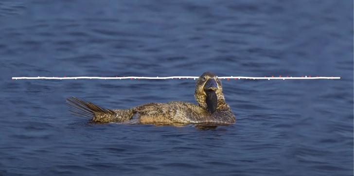 Фото №1 - Ученые нашли говорящую утку, и она грязно ругается (видео прилагается)