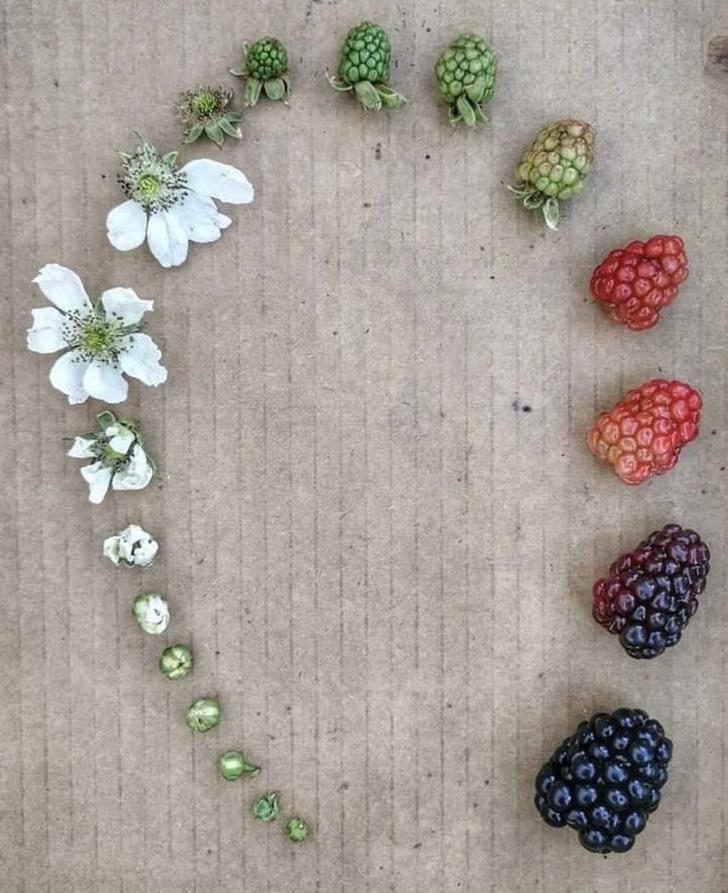Фото №2 - От цветка до кофе в твоей чашке. И другие стадии жизни растений, ягод и животных в одном фото (18 примеров)