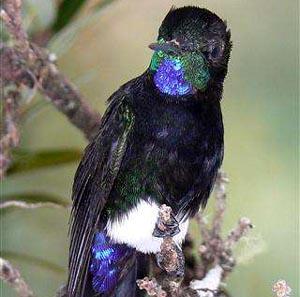 Фото №1 - Новая колибри показалась человечеству