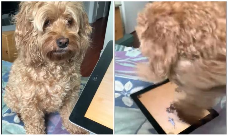 Фото №1 - Разгон за две секунды: собака моментально теряет контроль при виде игры на планшете (видео)