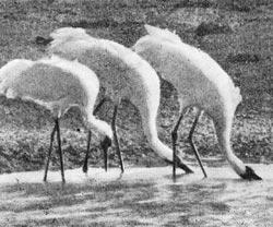 Фото №2 - Журавль - птица редкая
