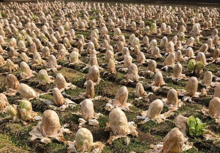 Фото №1 - Фермер показал поле китайской капусты, которая выглядит как яйца ксеноморфа