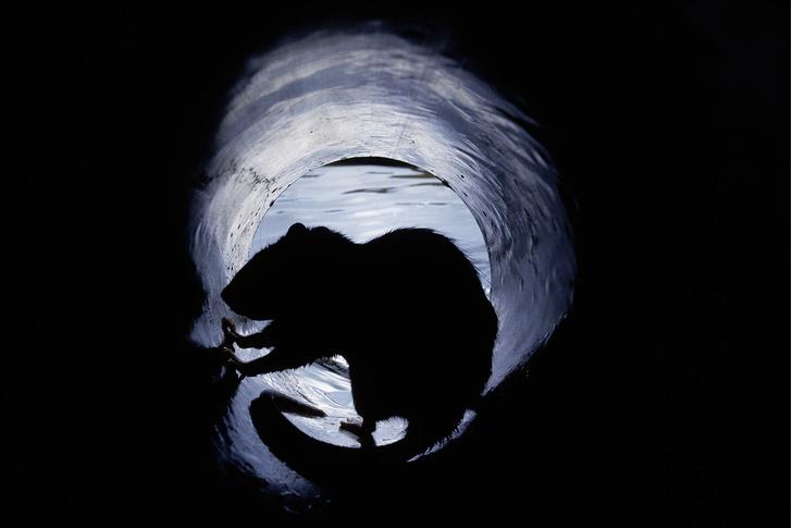 Фото №1 - Прогрызая путь: как устроено крысиное общество и чем оно похоже на человеческое