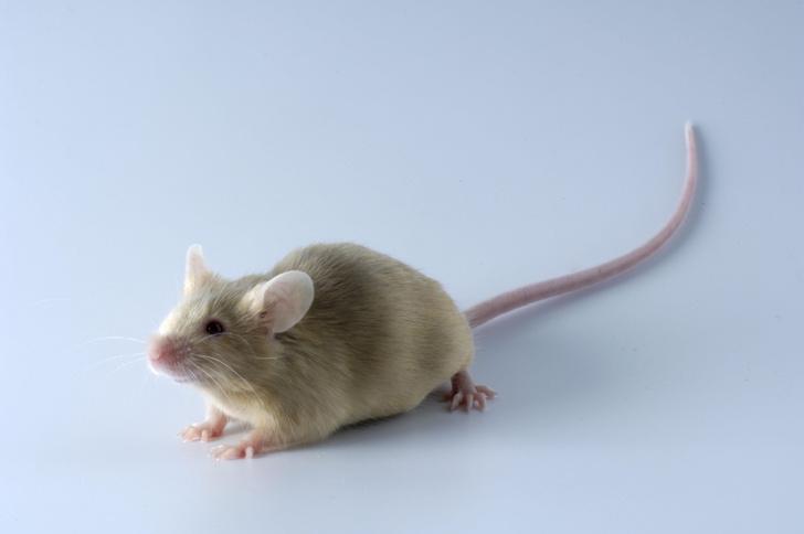 Фото №1 - Холод и никотин заставили мышей похудеть
