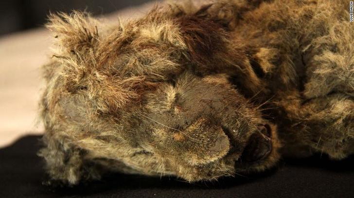 Фото №1 - В Якутии обнаружили двух львят времен ледникового периода
