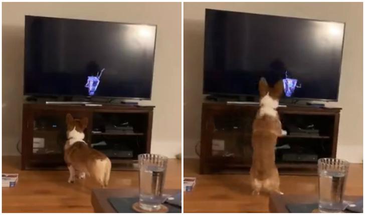 Фото №1 - Корги охотится на движущегося по экрану робота (видео)