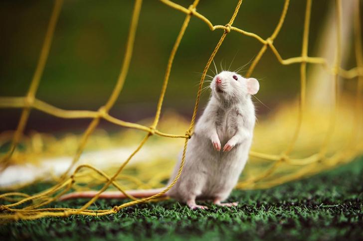 Фото №1 - День крысы