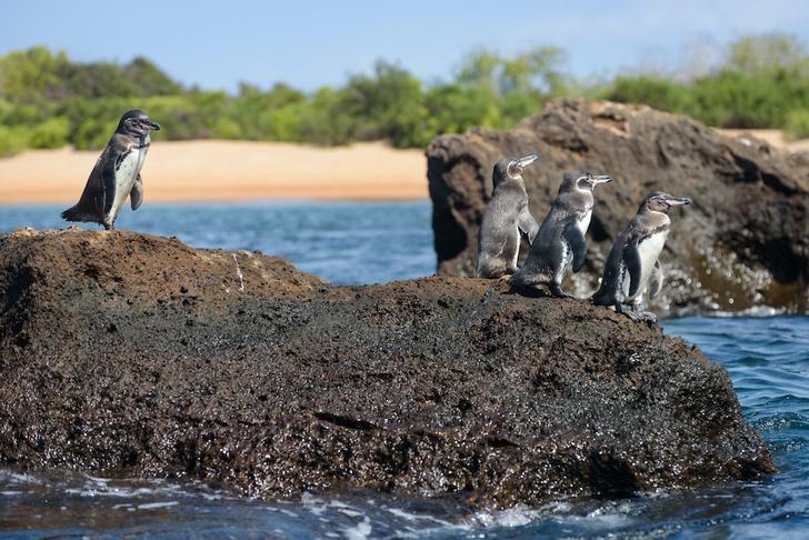 Фото №1 - Повелители Антарктики и не только: 7 мест на планете, где можно встретить пингвинов