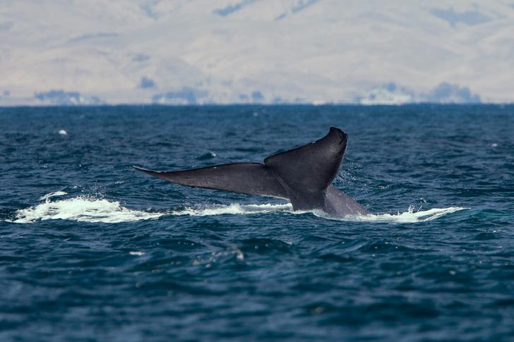 Фото №1 - Чудо-юдо рыба-кит