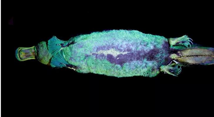 Фото №4 - Светящиеся утконосы и еще 8 внезапных фактов, чтобы блеснуть в разговоре
