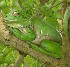 Фото №1 - Ученые нашли лягушку-дьявола