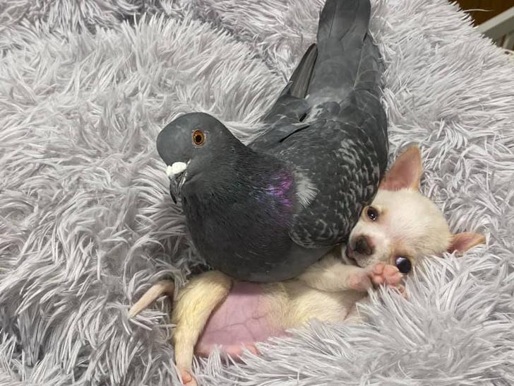 Фото №4 - В Нью-Йорке голубь Герман подружился с больным чихуахуа, и эти кадры выглядят как валентинка (фото и видео)