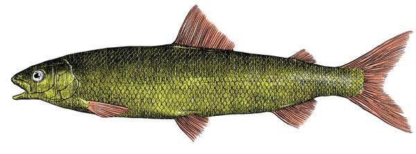 Фото №3 - Рыба гниет