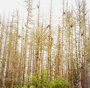 Фото №1 - Китайцы лишат Россию леса