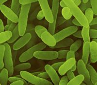 Фото №9 - Как создают трансгенные растения: 5 показательных примеров