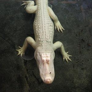 Фото №1 - В Бразилии недосчитались аллигаторов