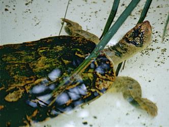Фото №11 - Тише едешь— дольше будешь: долголетие и другие загадки гигантских черепах