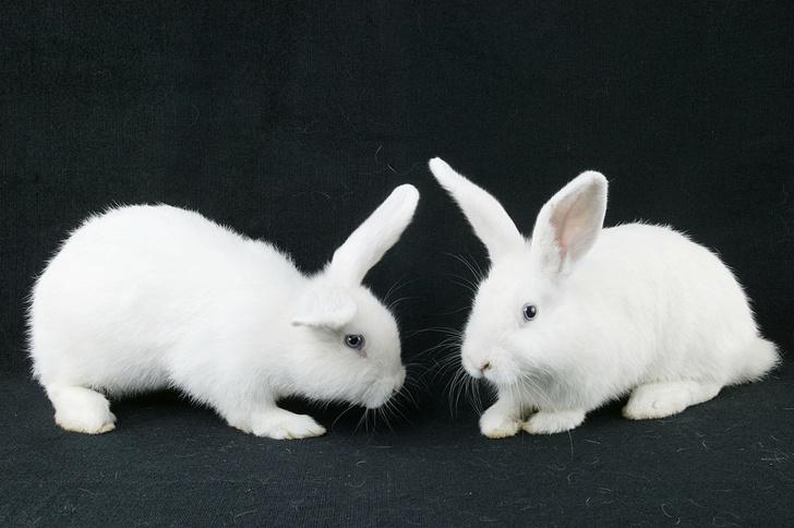 Фото №1 - Найдено объяснение дружелюбию домашних кроликов