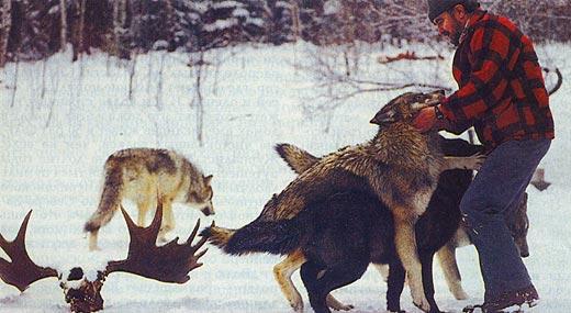 Фото №2 - Осторожно — в доме волк