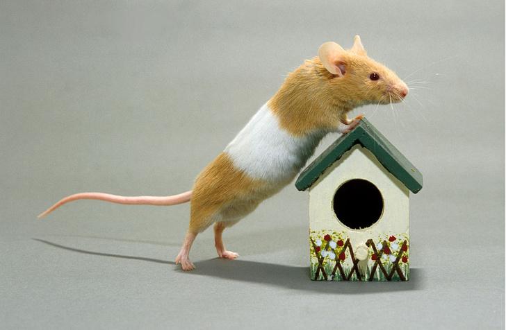 Фото №1 - Когда мыши стали жить рядом с людьми