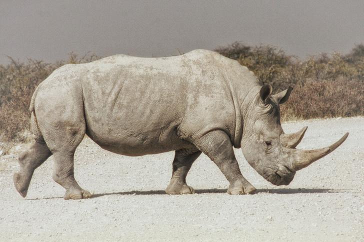 Фото №1 - Ученые планируют воссоздать популяцию северных белых носорогов