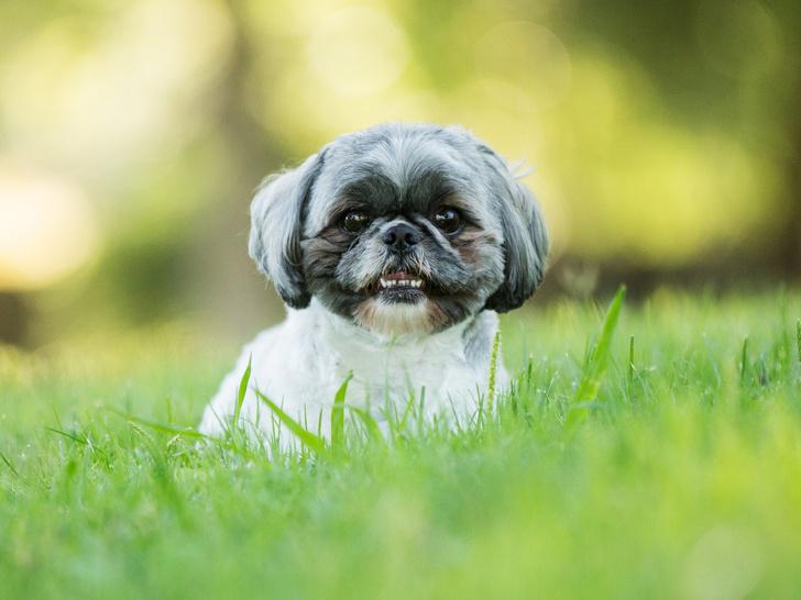 Ши-тцу, породы собак для квартиры, собаки для квартиры, тихие породы собак, породы собак для детей