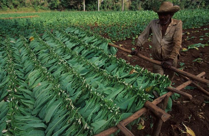 Фото №5 - Фермеры и ковбои: как живут обитатели долины Виньялес