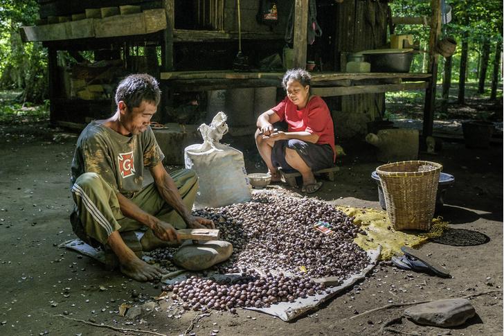 Фото №7 - Орех преткновения: как устроена жизнь на «островах специй»